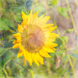 2016_09_JA_challenge_sunflower.jpg