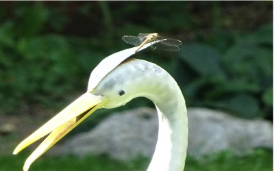 Dragonfly_on_Heron