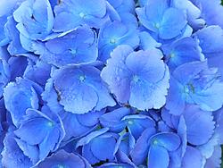 Blue_Hydrangea.jpg