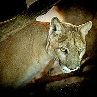 cougar-copy.jpg