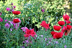 red_poppies_at_Lowts.jpg